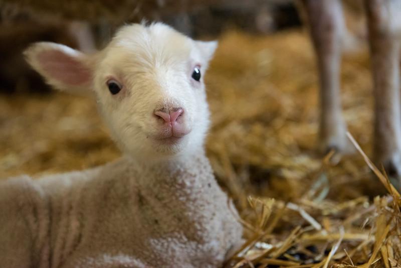 Lamb_DRM1642.jpg