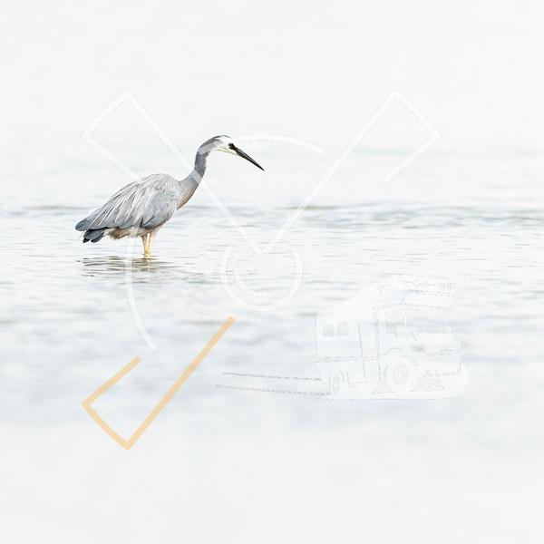 The white-faced heron (Egretta novaehollandiae) also known as the white-fronted heron