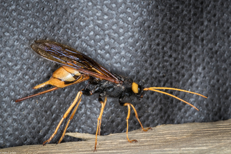 Giant Horntail