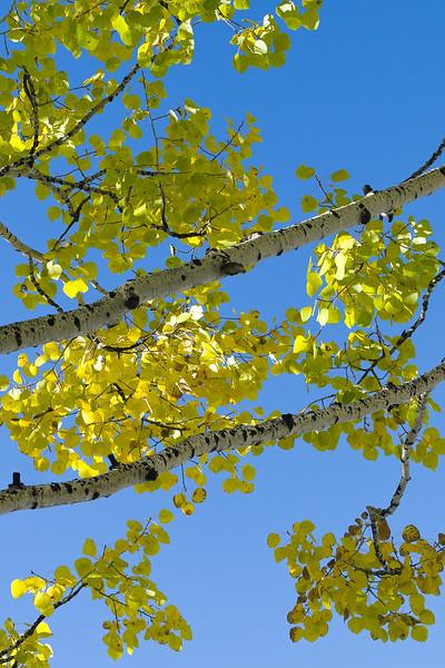 'Aspen Tree Branches' - Crested Butte, Colorado