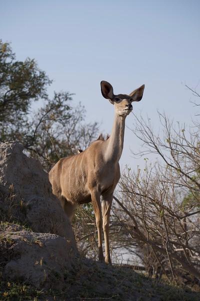 Kudu, Shinde camp, Botswana