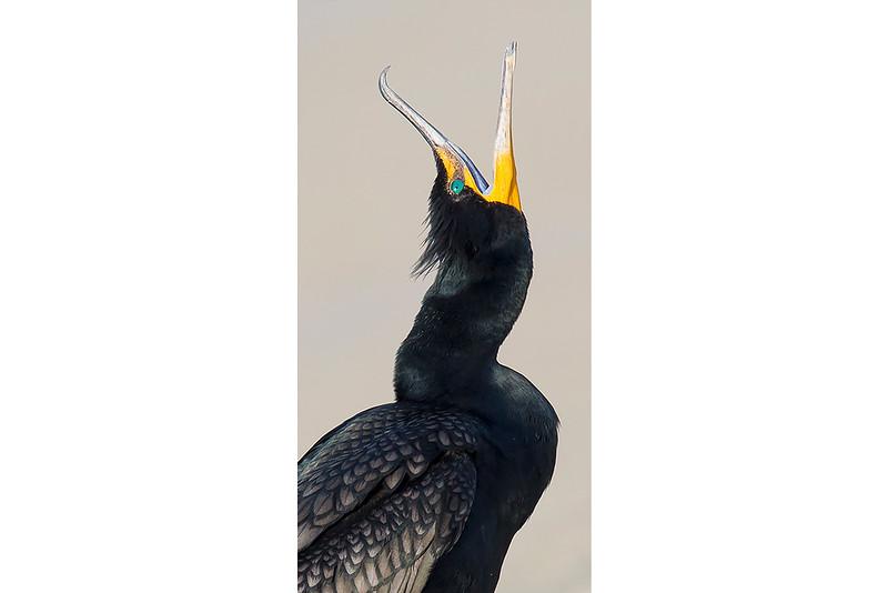 Cormorant Squawk