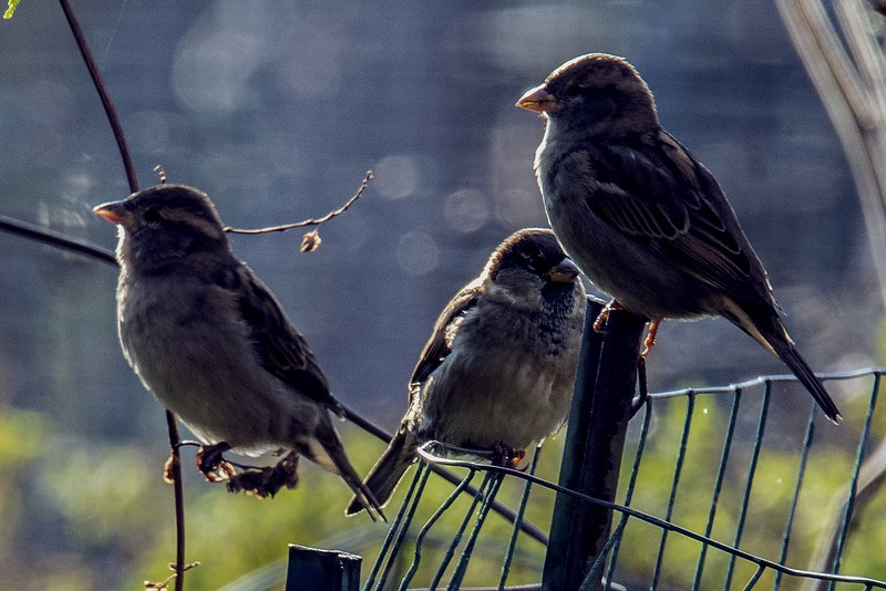 DSC_1643 White Crowned Sparrows PS-  NEF LL.jpg