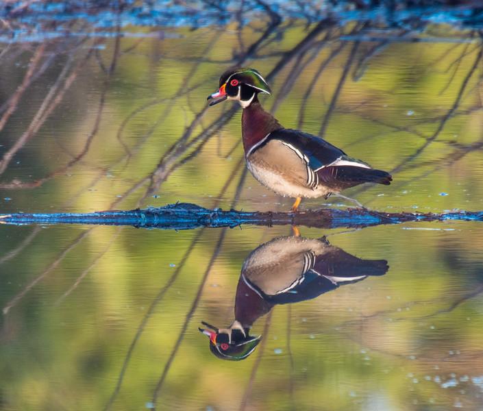 Wood Duck male drake reflection Beaver pond CR 166 Virtually Live 4 Sax-Zim Bog MN  P1055279.jpg