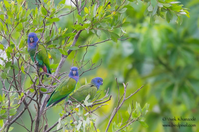 Blue-headed Parrots - Tambo Blanquillo Clay Lick, Manu Biosphere Preserve, Peru