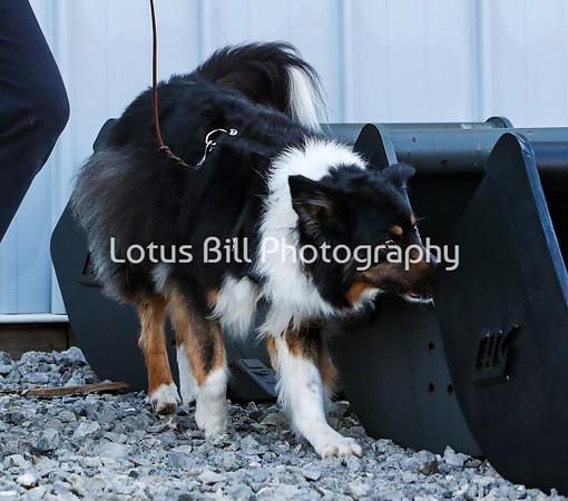 Black Tri Australian Shepherd PP