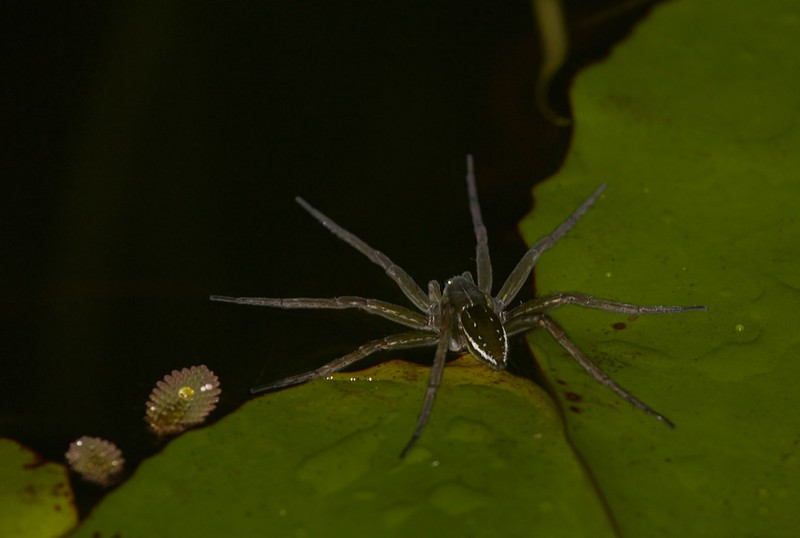 Water spider, Dolomedes
