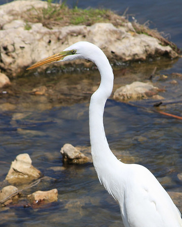 White Egret in Forest Park