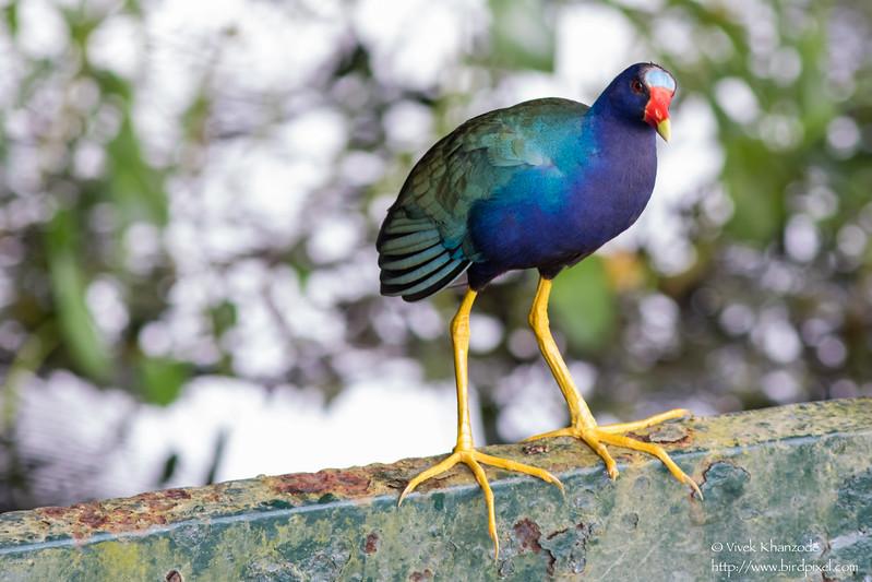Purple Gallinule - Record - Gamboa Rainforest Resort, Gamboa, PA
