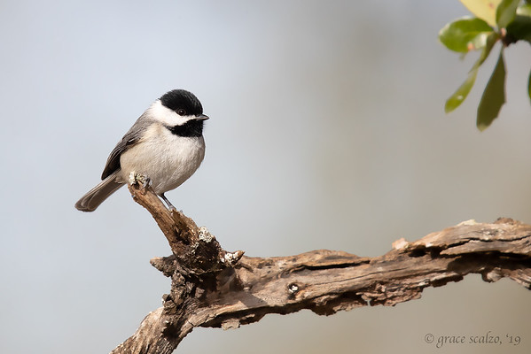 Chickadees, Titmice, Nuthatches, Creepers