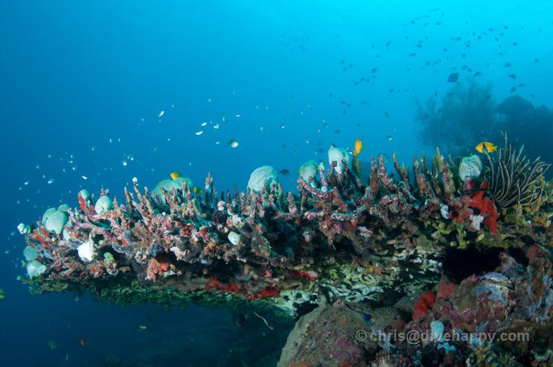 Large table coral at Menjangan
