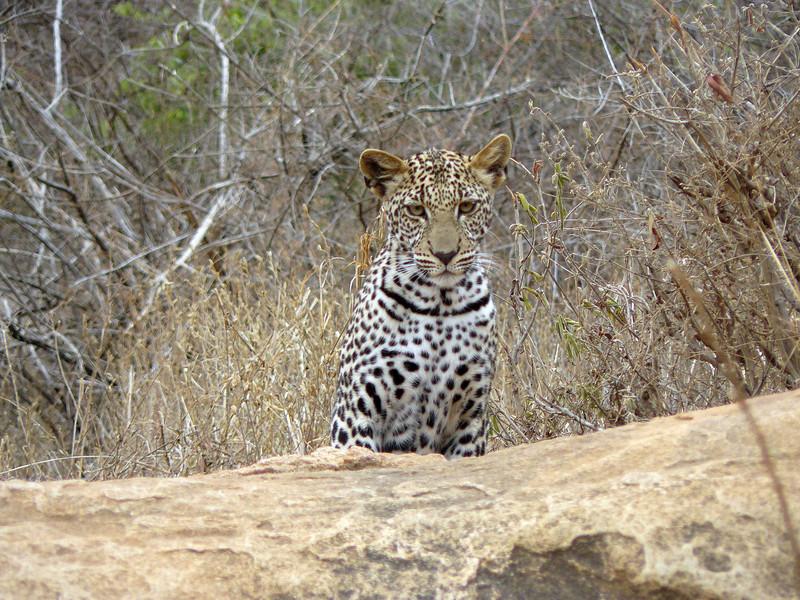 Leopard Tsavo East 2.jpg