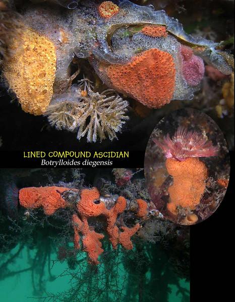 Lined Comp ascidia 2aS.jpg