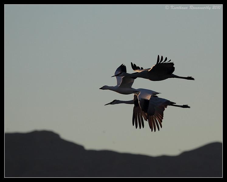 Sandhill Cranes and Snow Geese, Bosque Del Apache, Socorro, New Mexico, November 2010