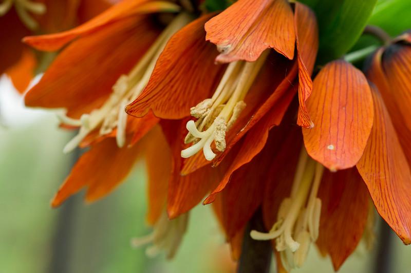 Frittilaria imperialis
