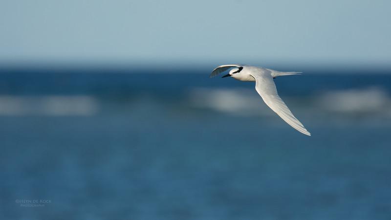 Black-naped Tern, Lady Elliot Island, QLD, Dec 2015-16.jpg