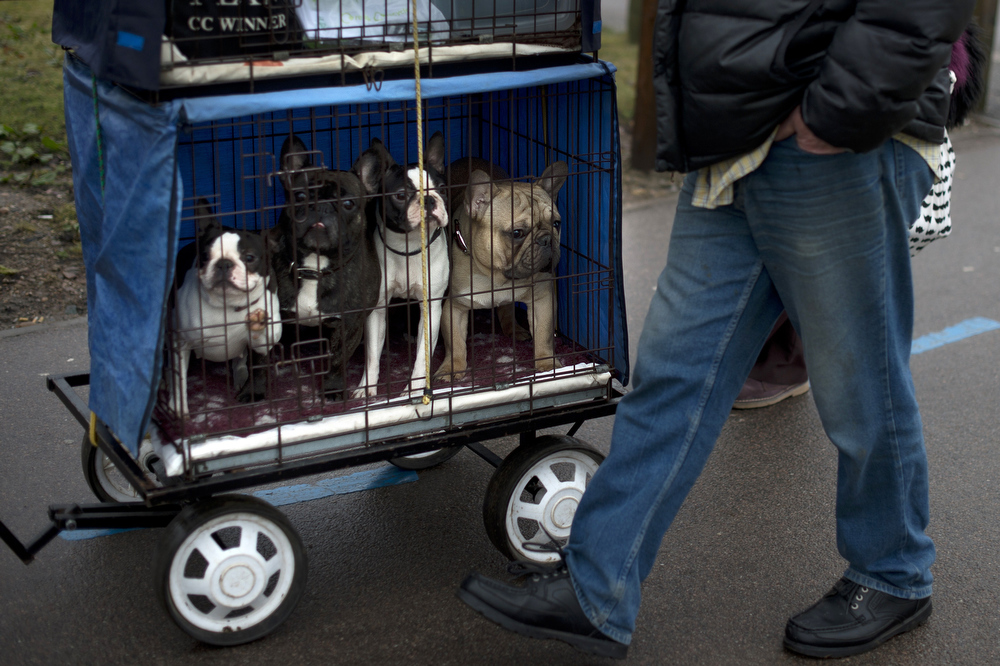 """. A French bull dog (R) and three Boston terriers (L) arrive during the second day of the Crufts dog show in Birmingham, in central England on March 8, 2013. The annual event sees dog breeders from around the world compete in a number of competitions with one dog going on to win the \""""Best in Show\"""" category.  BEN STANSALL/AFP/Getty Images"""