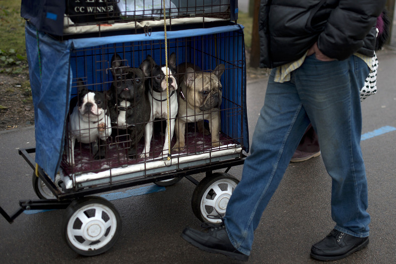 ". A French bull dog (R) and three Boston terriers (L) arrive during the second day of the Crufts dog show in Birmingham, in central England on March 8, 2013. The annual event sees dog breeders from around the world compete in a number of competitions with one dog going on to win the ""Best in Show\"" category.  BEN STANSALL/AFP/Getty Images"