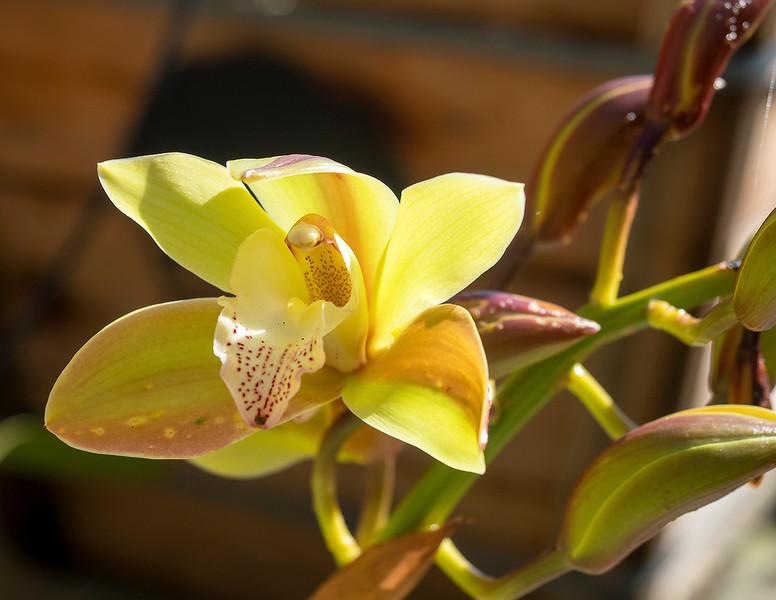 grandpa orchid.jpg