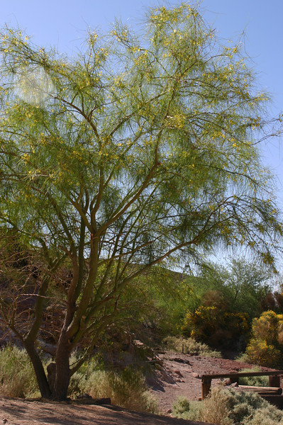 A lovely wispy desert tree in bloom. Not identified.