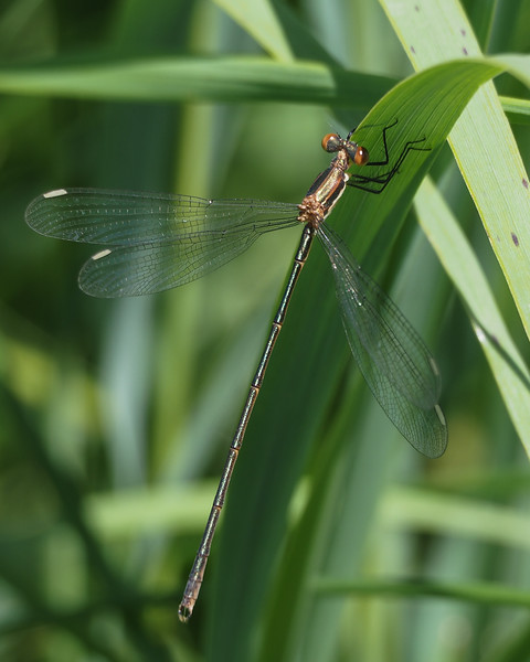 Northern Spreadwing, male