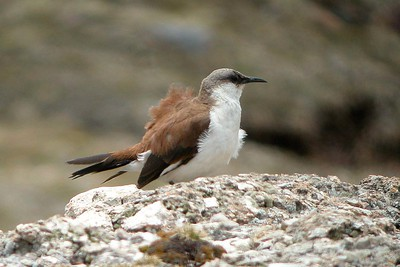 CPE Central Peruvian Endemics Highlights=