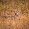 Large white-tailed deer buck walking through heavy brush in Smoky Mountain National Park