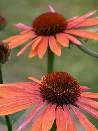 Echinacea 'Sunset'.jpg