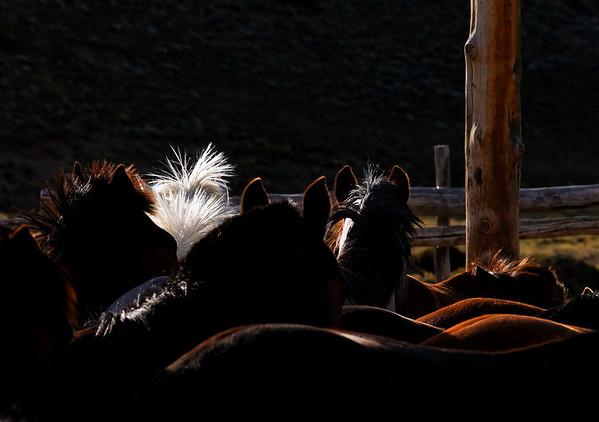 Cheval blanc de Menelik avec les autres