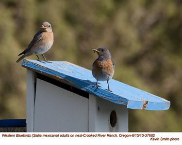 WesternBluebirdsP37682.jpg