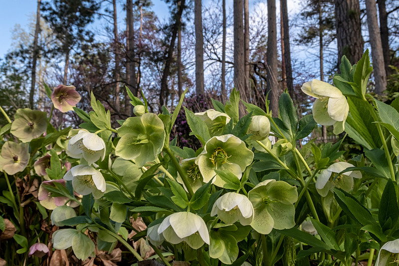 Hellebore in late stages of blooming