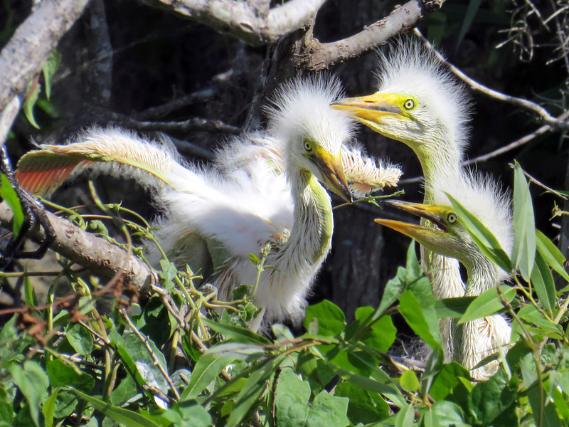 1_8_19 Great Egret chicks in their nest.jpg