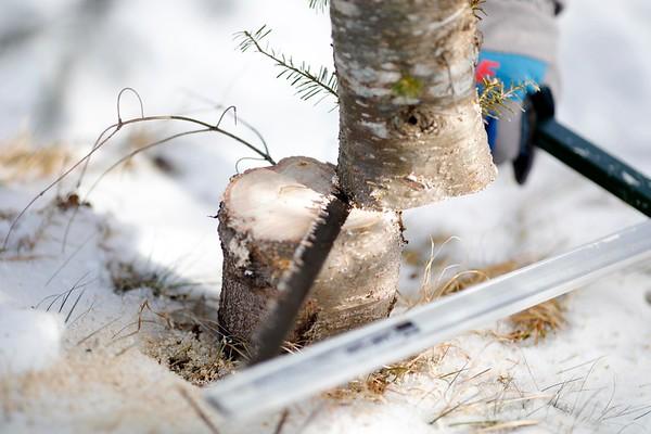 Notchview Christmas Tree Cutting-120818