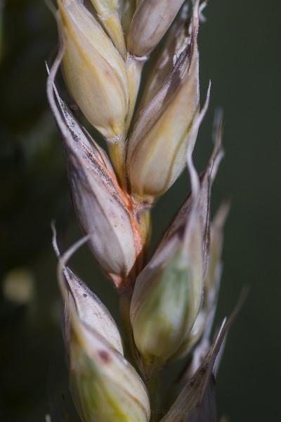 Fusarium i hveteaks