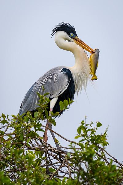 CoCoi Heron and Fish.jpg