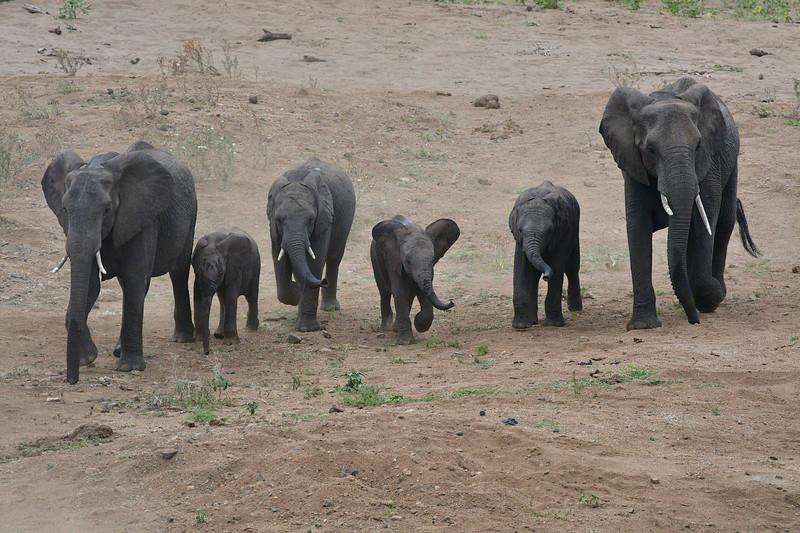 Approaching Herd Of Elephants