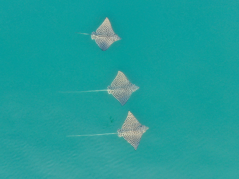 Eagle Rays in the Ocean