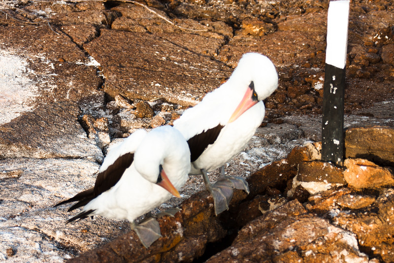 Two Friends : Journey into Genovesa Island in the Galapagos Archipelago