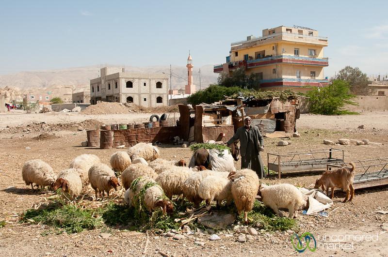 Shepherd Feeds his Sheep - Ghor el Safi, Jordan