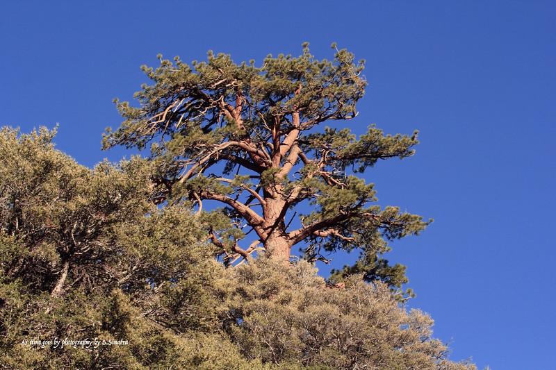 Gull Lake Hill pine tree S.S.jpg