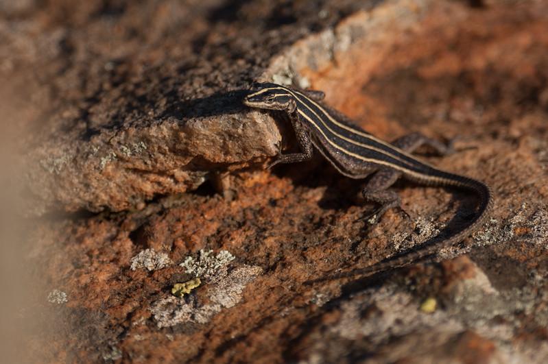 Firben (Pungwe Flat lizard), Forever Resorts Aventura Blyde Canyon, Blyde River Canyon