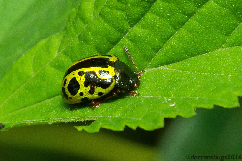 Leaf beetle (Chrysomelidae: Calligrapha sp.) from Monteverde, Costa Rica.