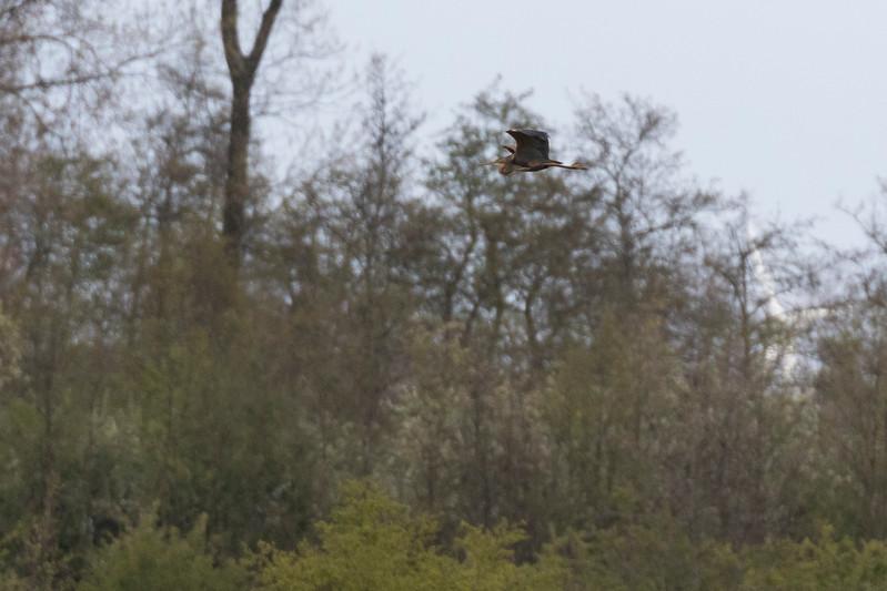 purperreiger, purple heron