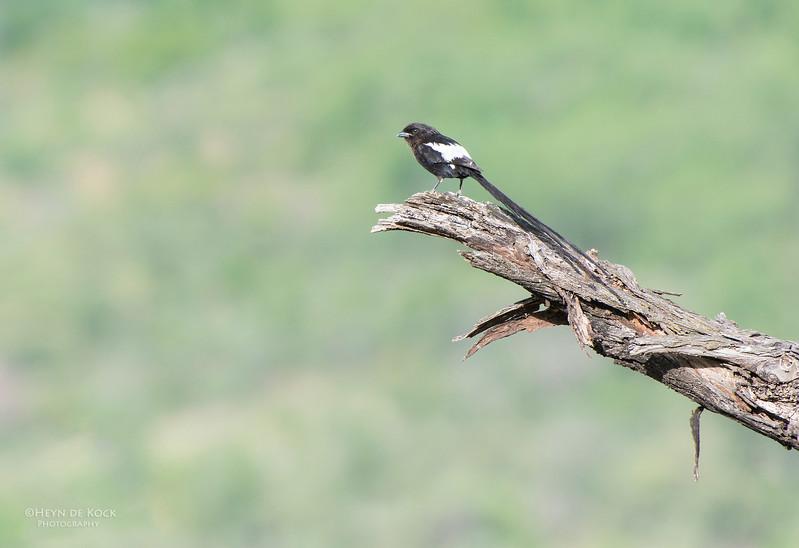 Magpie Shrike, Pilansberg National Park, SA, Dec 2013-1.jpg