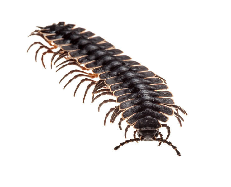 Tractor millipede (Barydesmus sp.), male, Crocker Range, Borneo, Malaysia.