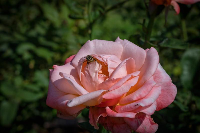 Rose Garden 8.2018-0787.jpg