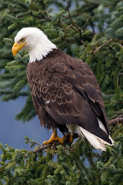 Bald Eagle outside of Juneau, Alaska, another view
