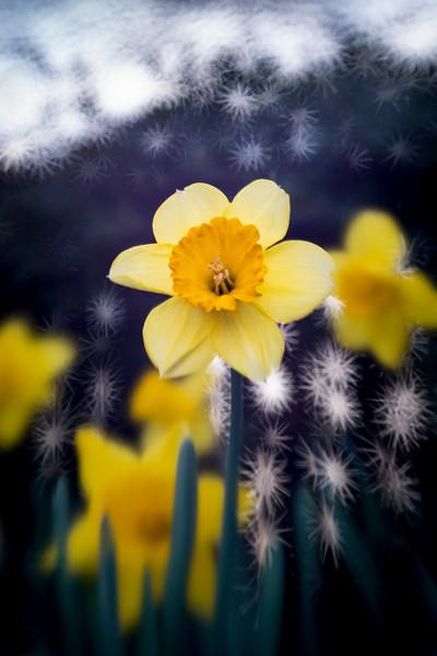 Daffodils032819-65.jpg