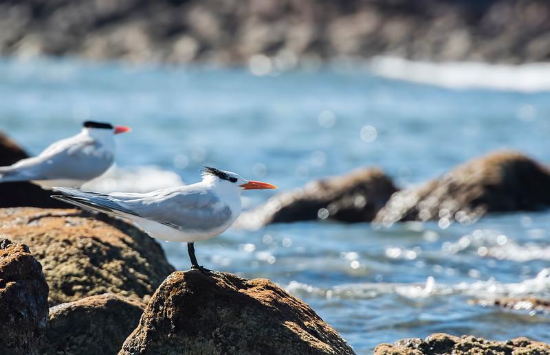 ss royal terns1.jpg