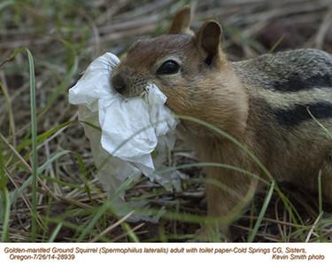 Golden-Mantled Ground Squirrel A28939.jpg